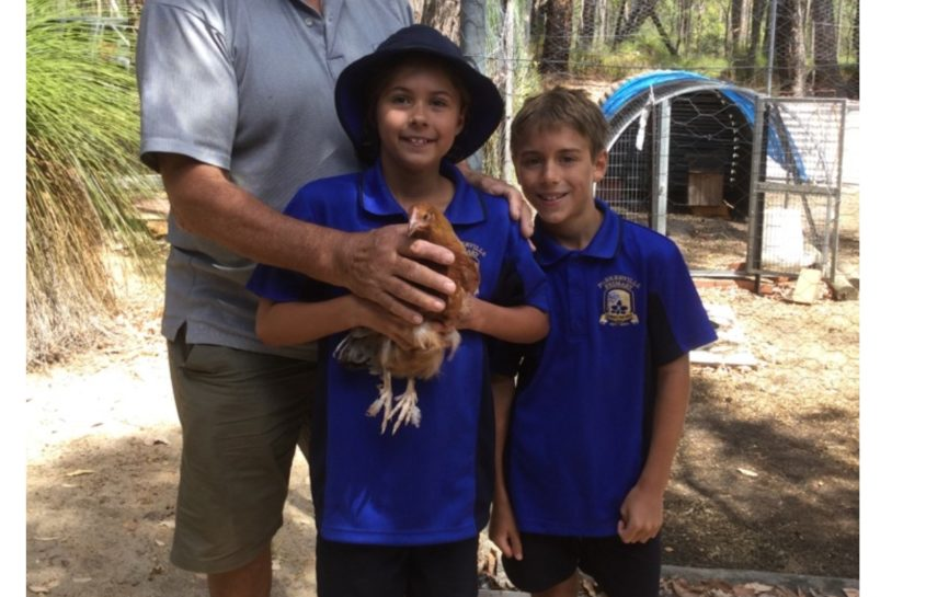 Parkerville Primary School New Chickens